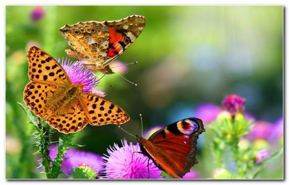 Image Invertebrates Butterfly Nectar Pollinator Insect