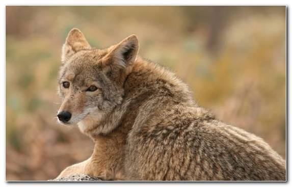 Image Jackal Fauna Wildlife Coyote Fur