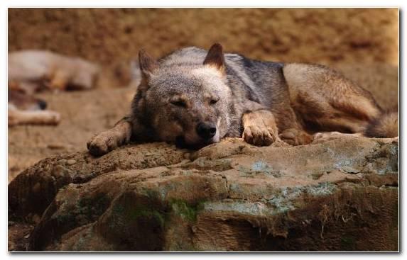 Image Jackal Wildlife Stone Fauna