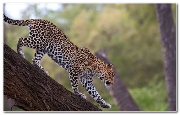 Image Jaguar Big Cat Felidae African Leopard Tiger