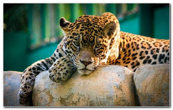 Image Jaguar Black Panther Leopard Fauna Wildlife