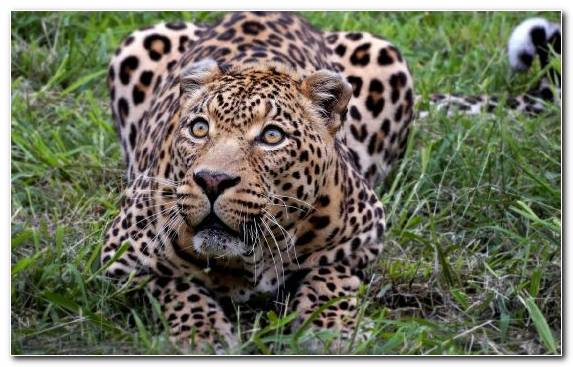 Image jaguar cheetah terrestrial animal wildlife leopard