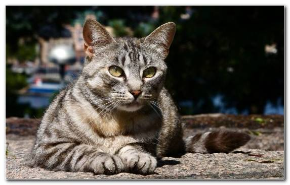 Image Jaguar European Shorthair Feral Cat Tabby Cat Whiskers