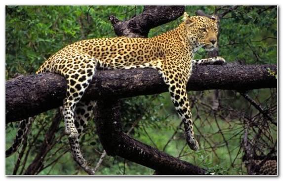 Image Jaguar Lion African Leopard Rhinoceros Cheetah
