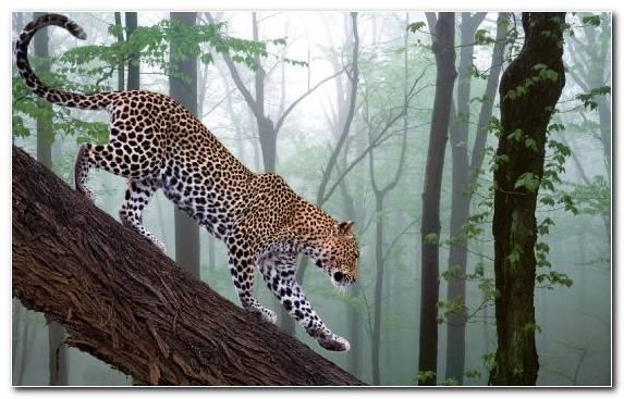 Image Jaguar Mammal Felidae Terrestrial Animal Cheetah