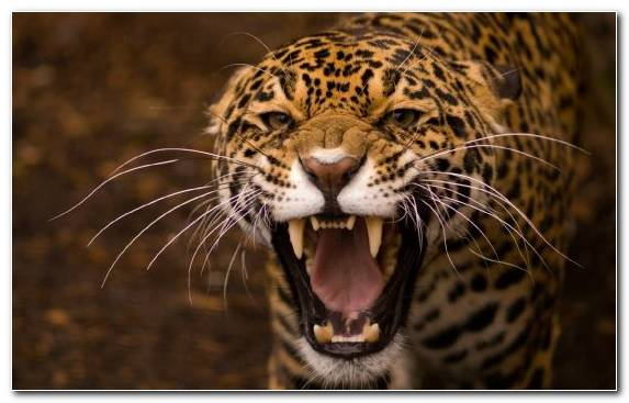 Image Jaguar Snout Moustache Terrestrial Animal Whiskers