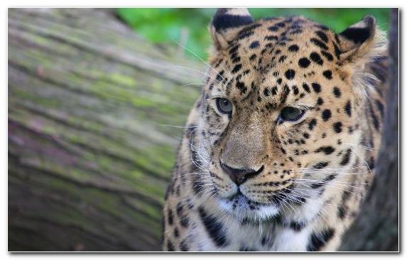 Image Jaguar Snow Leopard Big Cat Terrestrial Animal Cat