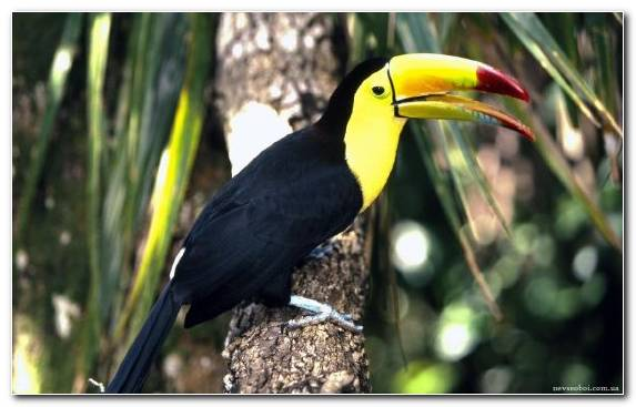 Image Jungle Piciformes Wildlife Toucan Toco Toucan