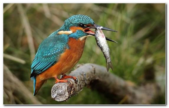 Image Kingfisher Wildlife Bird Beak Coraciiformes