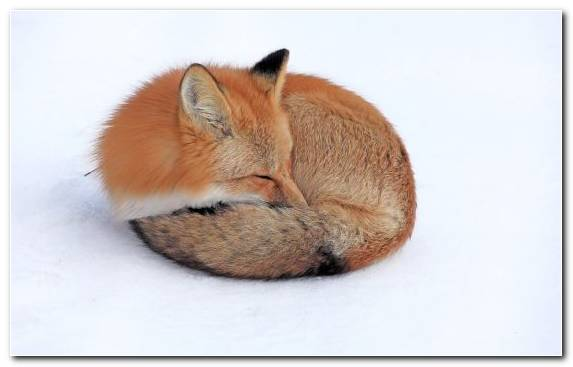 Image Kit Fox Fur Red Fox Wildlife Arctic Fox