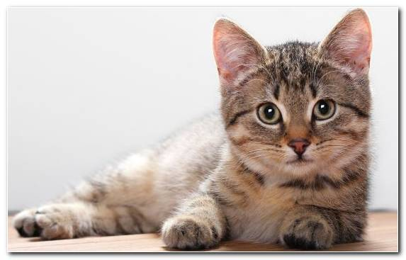 Image Kitten American Shorthair Cat Whiskers Munchkin Cat