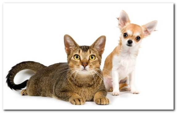 Image Kitten Chihuahua Whiskers Companion Dog Moustache