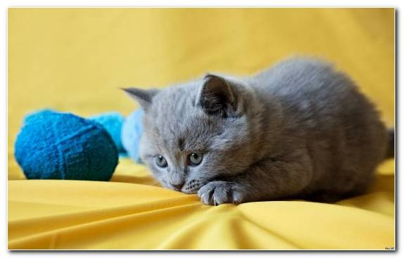 Image Kitten Cuteness Felidae Korat British Shorthair