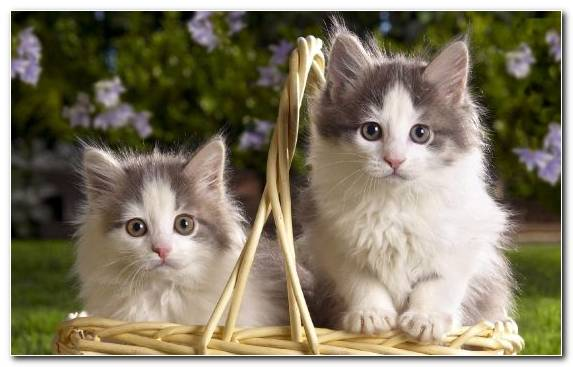 Image Kitten Cuteness Norwegian Forest Cat Mammal Puppy