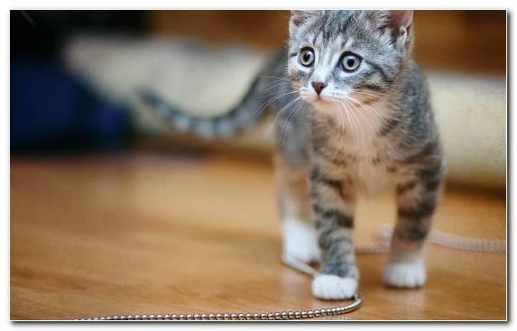 Image Kitten Dog Like Mammal Pet Dragon Li American Shorthair