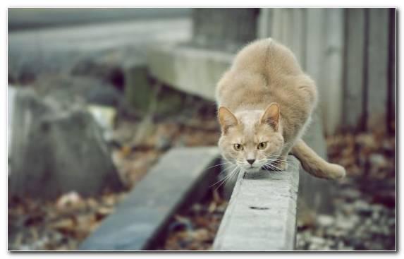 Image Kitten Hunting Persian Cat Bengal Cat Aegean Cat