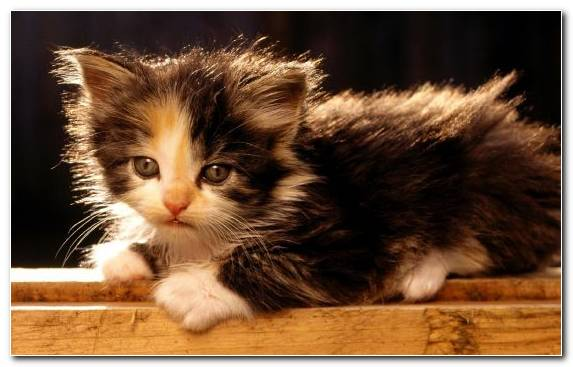 Image Kitten Japanese Bobtail Cat Breed Fauna Tabby Cat