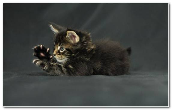 Image Kitten Mammal Vertebrate Maine Coon Claw