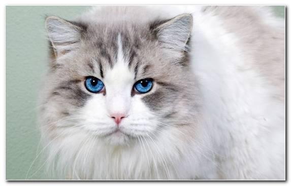 Image Kitten Persian Cat Fauna Ragdoll Cuteness