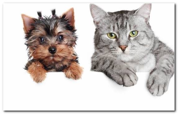 Image Kitten Sphynx Cat Cats And Dogs Dog Like Mammal Yorkshire Terrier