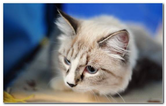 Image Kitten Whiskers Snout Painting Ragdoll