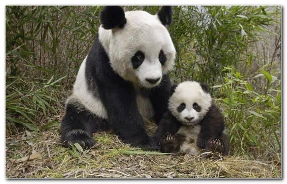 Image Koala Animal Red Panda Cuteness Giant Panda