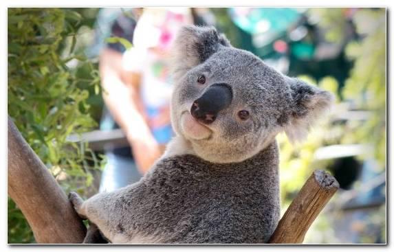 Image Koala Baby Koala Fur Marsupial Terrestrial Animal