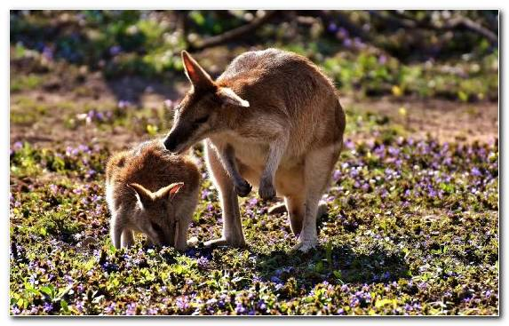 Image Koala Grass Wallaby Marsupial Wildlife