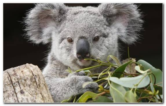 Image Koala Marsupial Terrestrial Animal Genus Animal