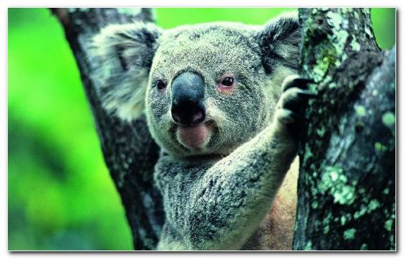 Image Koala Marsupial Terrestrial Animal Wildlife Tree