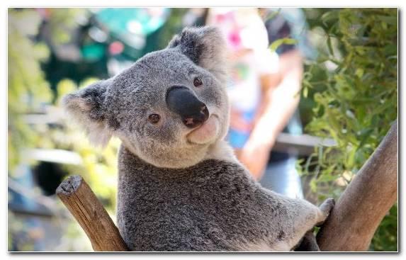 Image Koala Snout Terrestrial Animal Wildlife Australia