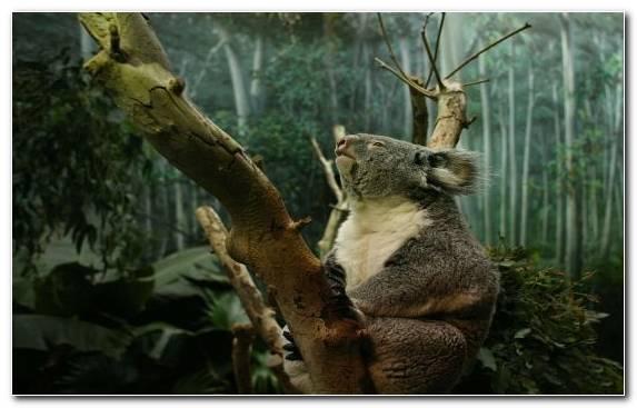 Image Koala Wildlife Branch Animal Tree