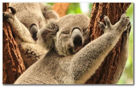 Image Koala Wombat Snout Fur Tree