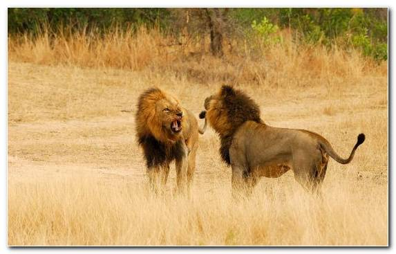 Image Kruger National Park Wildlife Wilderness Big Cat Grassland