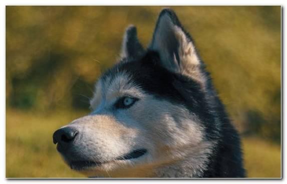 Image Kunming Wolfdog Siberian Husky The Siberian Husky Dog Like Mammal Snout