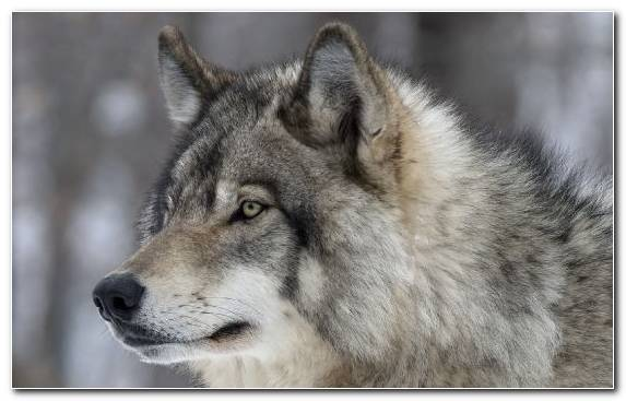Image Kunming Wolfdog Mammal Canis Lupus Tundrarum Saarloos Wolfdog Greenland Dog