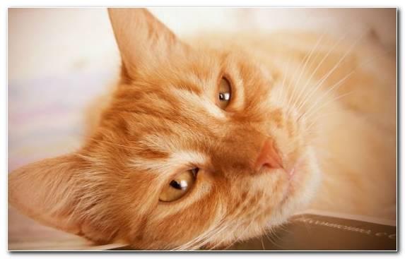 Image Kurilian Bobtail Kitten Nose Tabby Cat Fauna
