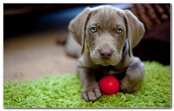 Image Labrador Retriever American Cocker Spaniel Companion Dog Dog Like Mammal Weimaraner