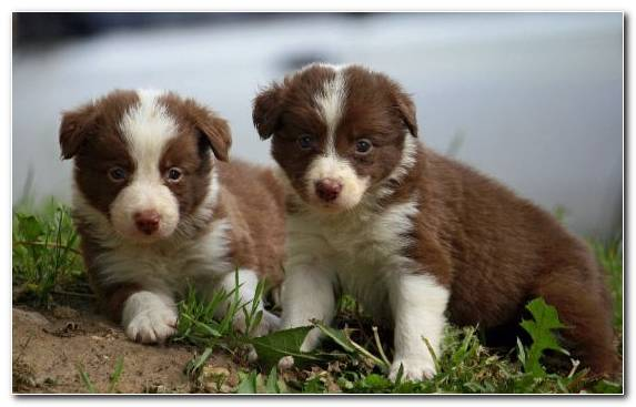 Image Labrador Retriever Dog Breed Companion Dog Miniature Australian Shepherd Puppy