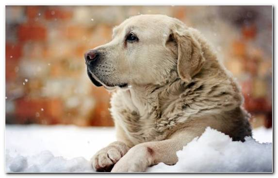 Image Labrador Retriever Dog Breed Snow Boxer Papillon Dog