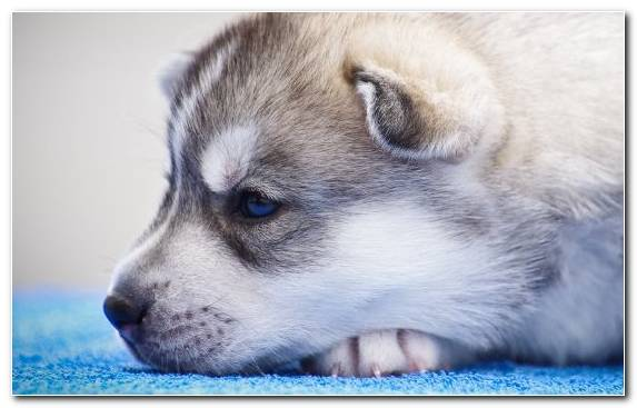 Image Labrador Retriever Puppy Sakhalin Husky Dog Breed Group Siberian Husky