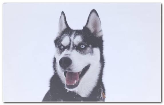Image Labrador Retriever Seppala Siberian Sleddog Husky Siberian Husky Sled Dog