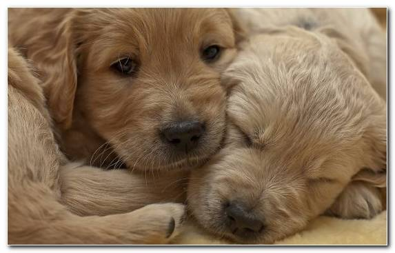 Image Labrador Retriever Whiskers Goldendoodle Nose Puppy