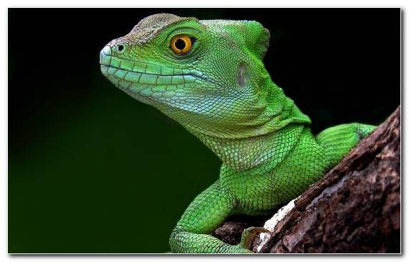 Image Lacertidae Animal Lizard Common Iguanas Chameleons