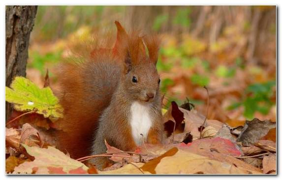 Image Leaves Squirrel Terrestrial Animal Autumn Autumn Leaf Color