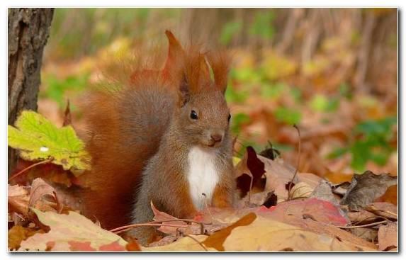 Image Leaves Squirrel Terrestrial Animal Autumn Autumn Leaf Color