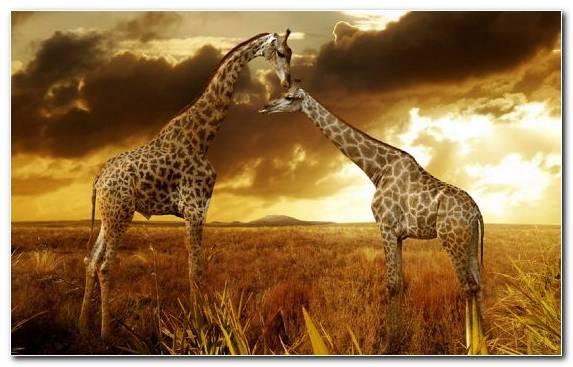 Image Leopard Ecosystem Terrestrial Animal Grazing Safari