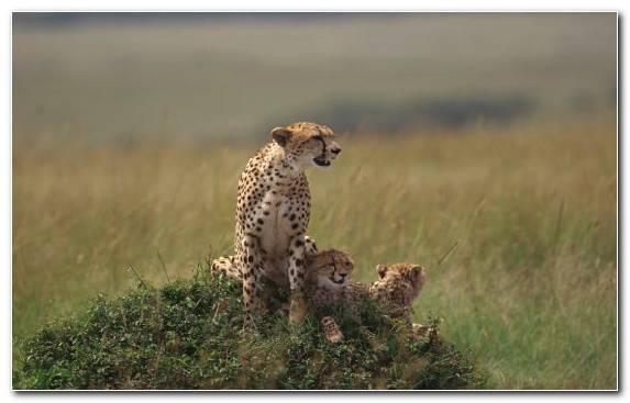 Image Leopard Grassland Felidae Animal Cheetah