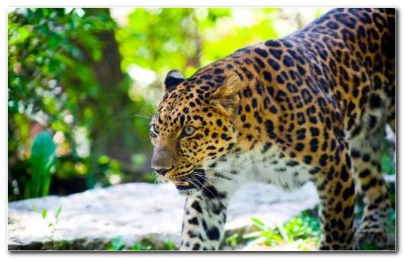 Image Leopard Lion Moustache Snout Jaguar