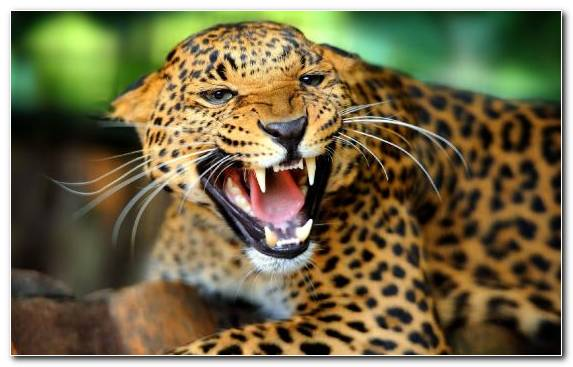 Image Leopard Lion Snout Moustache Big Cats